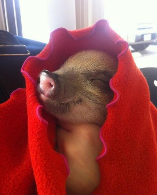 l-Piggie-in-a-blanket