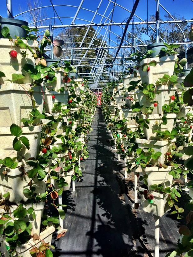 strawberry-picking1
